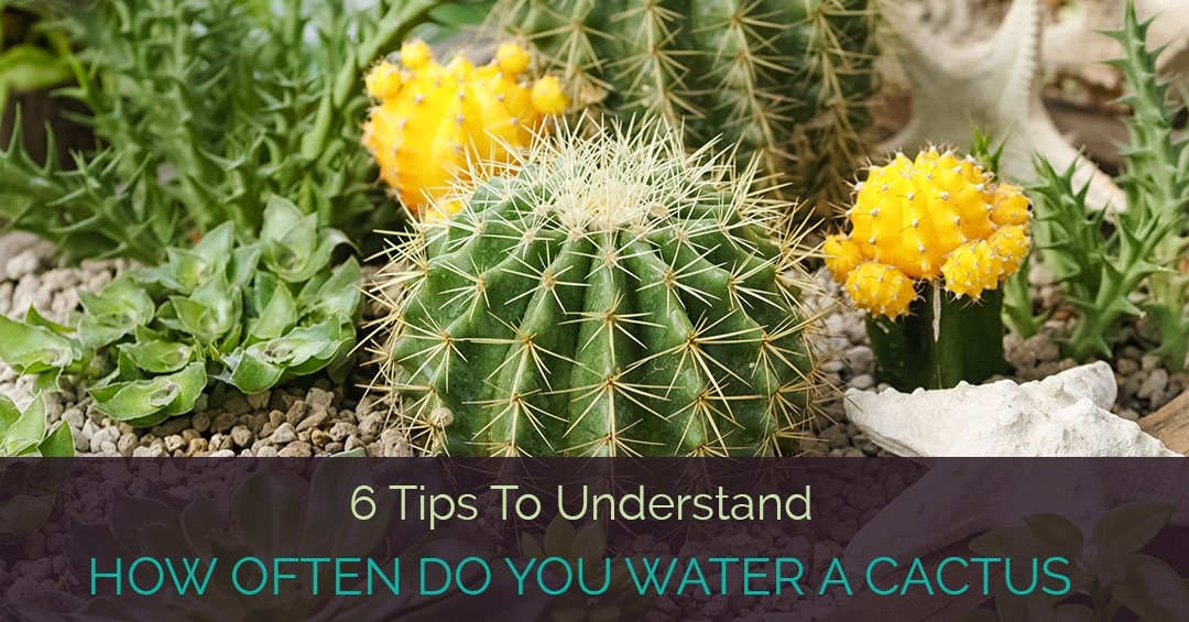 6 Tips To Understand How Often Do You Water A Cactus
