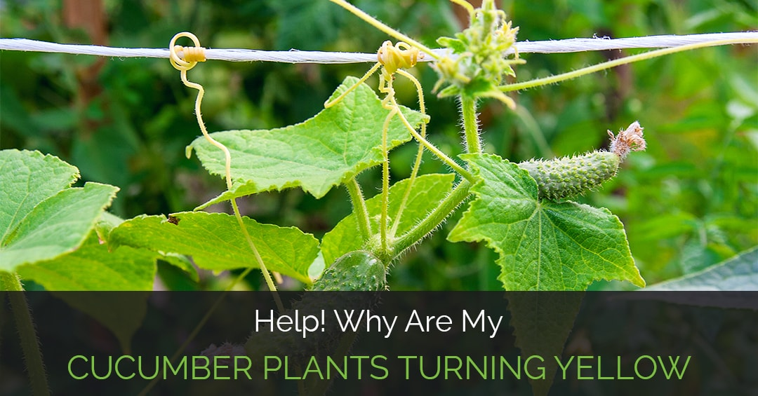 Help why are my cucumber plants turning yellow why are my cucumber plants turning yellow mightylinksfo